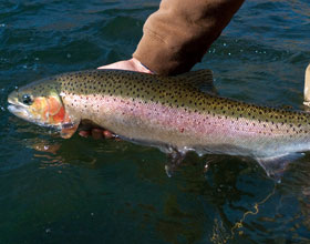 A Deschutes River Steelhead